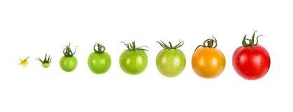 эволюция помидора
